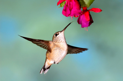 Black Chinned Hummingbird female