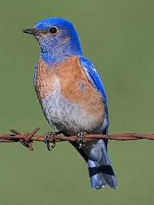 western bluebird, bird feeder, unique bird feeders
