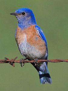 western bluebird, bird feeder, unique bird feeders