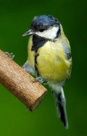 great tit, bird feeder, unique bird feeders