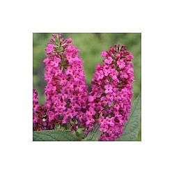 plants for hummingbirds - butterflybush