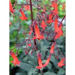 plants for hummingbirds - fuchsia