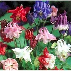 plants for hummingbirds - columbine