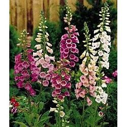 plants for hummingbirds - foxglove