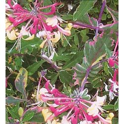plants for hummingbirds - honeysuckle