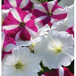 plants for hummingbirds - petunia